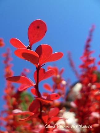 Photo de feuillage rouge flamboyant
