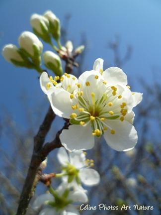 Poster de fleurs de prunier