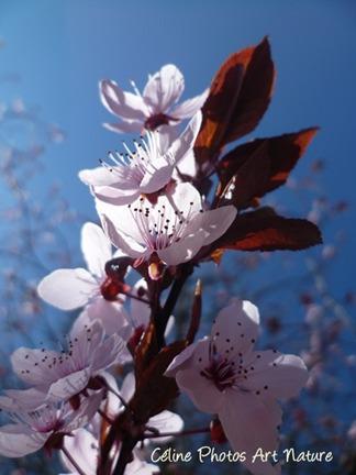Poster de fleurs de prunus