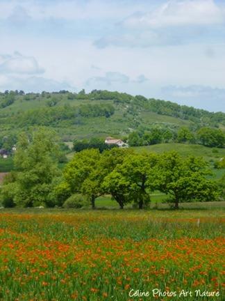 Poster champ de fleurs rouges