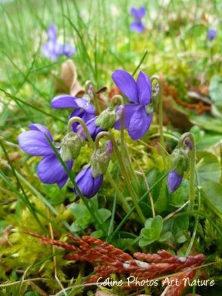 Poster de violettes